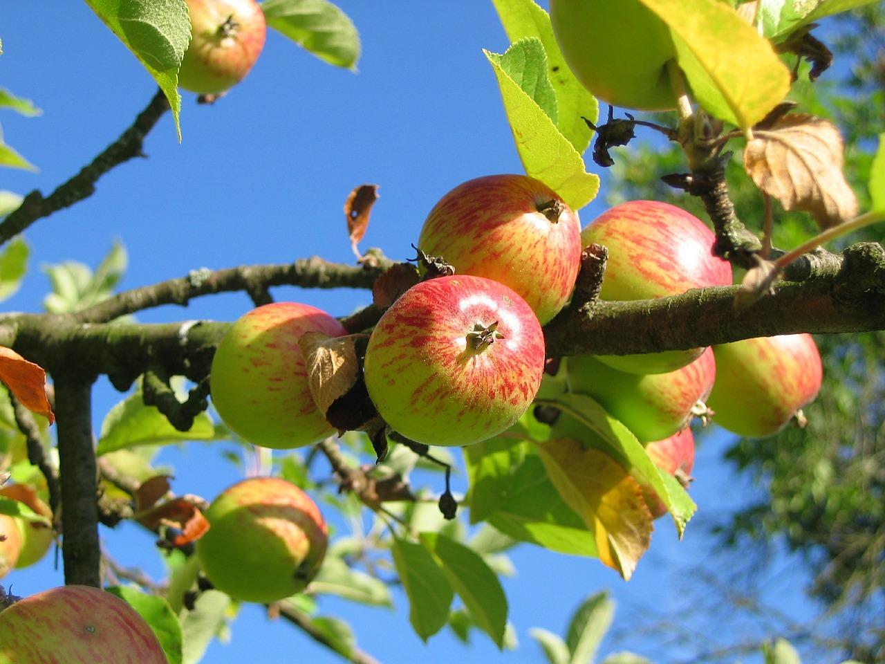 Ast eines Apfelbaums vor blauem Himmel mit grünen Blättern und reifen, roten Äpfeln