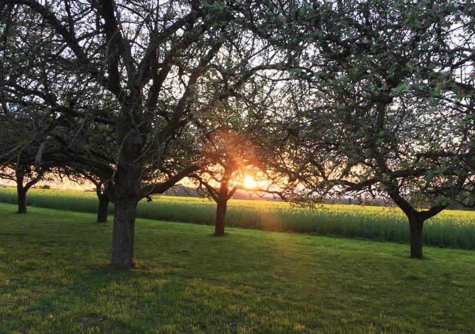 Sonnenstrahlen am Abend scheinen durchs Geäst auf einer Streuobstwiese